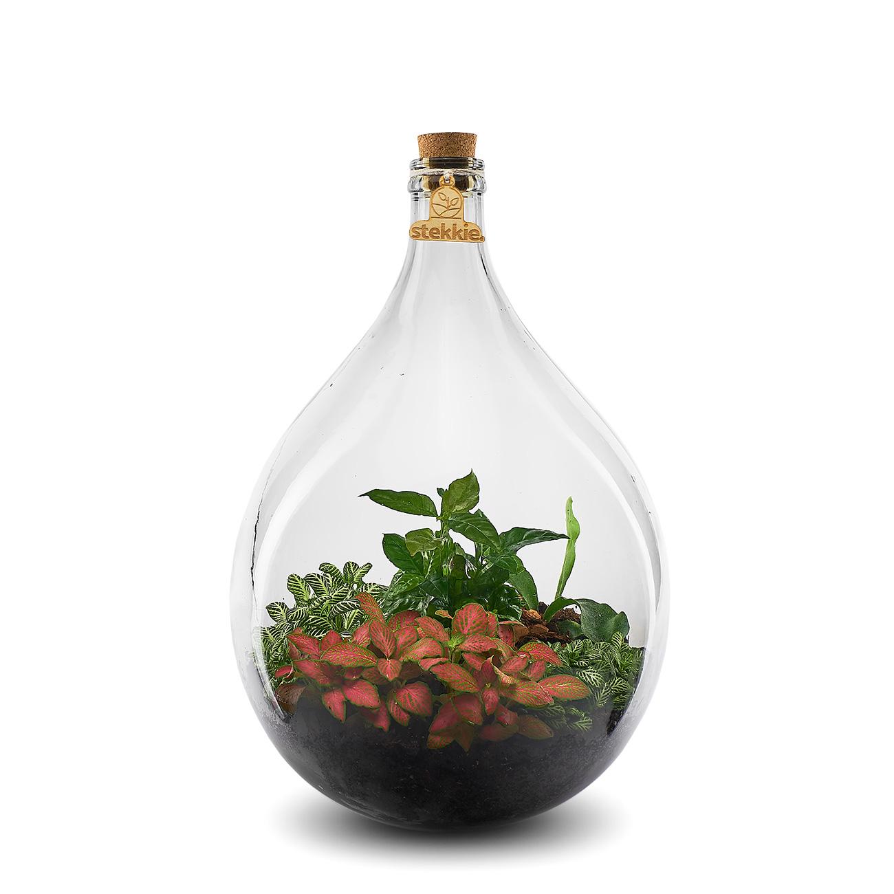 Stekkie Large mini-ecosysteem met rode accentkleur en koffieplant