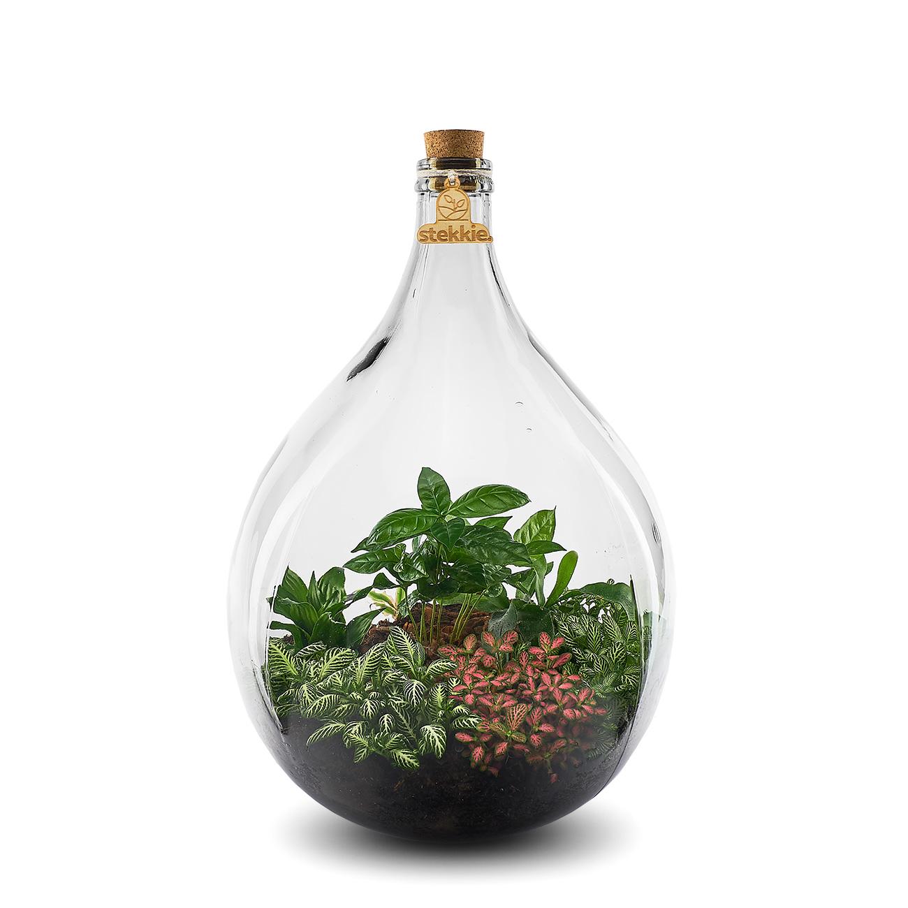 Stekkie Large roze mini-ecosysteem met coffea plant