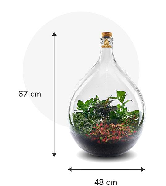 Stekkie Extra-large ecosysteem met planten in een afgesloten glazen fles. Afmetingen zijn 67 cm hoog en 48 cm breed