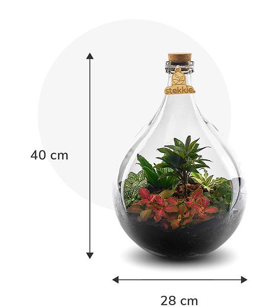 Stekkie Medium ecosysteem met planten in een afgesloten glazen fles. Afmetingen zijn 40 cm hoog en 28 cm breed
